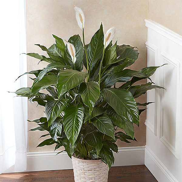 Peace Lilly Basket