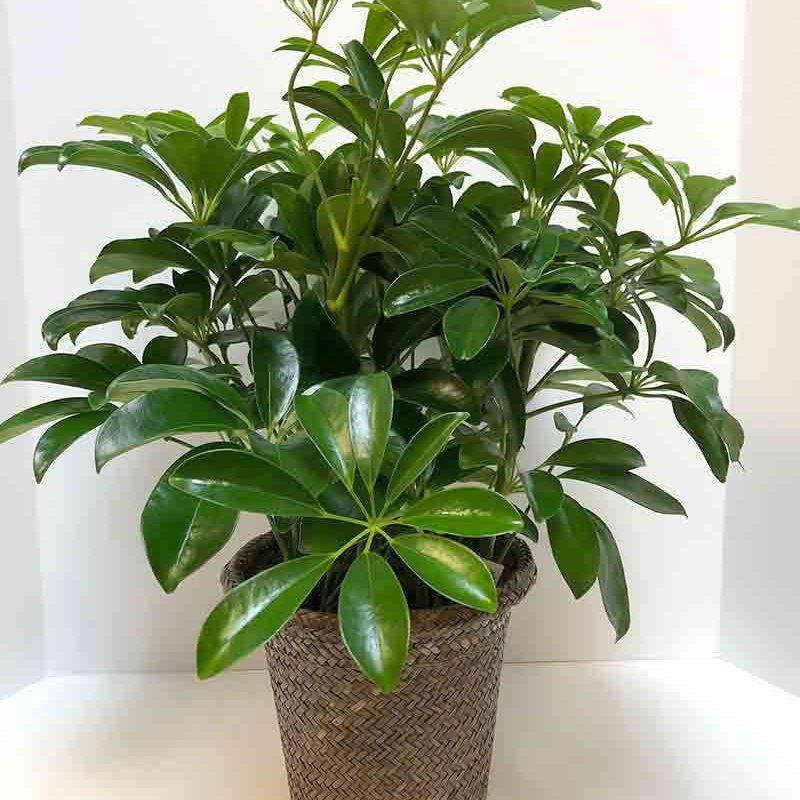 Schefflera Plant Basket